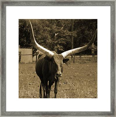Florida Longhorn Framed Print by Pamela Stanford