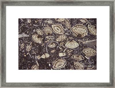 Foraminiferous Limestone Lm Framed Print by M. I. Walker