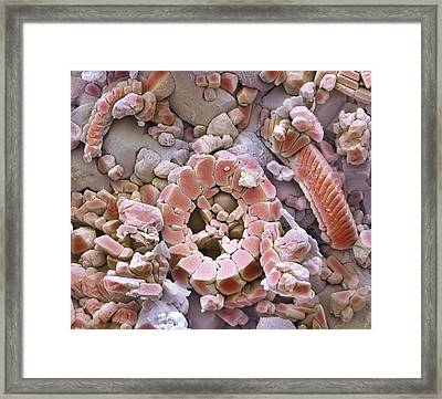 Fossil Debris In Chalk, Sem Framed Print by Steve Gschmeissner