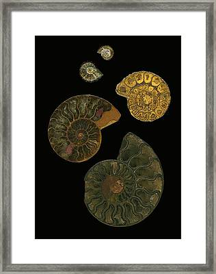 Fossilized Sea And Marine Shells Or Framed Print