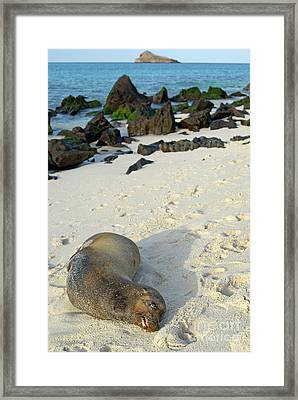 Galapagos Sea Lion Sleeping On Beach Framed Print by Sami Sarkis