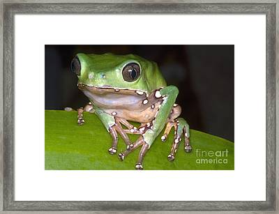 Giant Monkey Frog Framed Print by Dante Fenolio