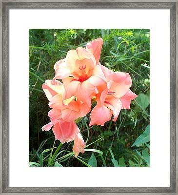Gladiola Framed Print by Tibi K