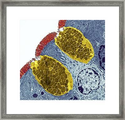 Goblet Cells Framed Print by Steve Gschmeissner