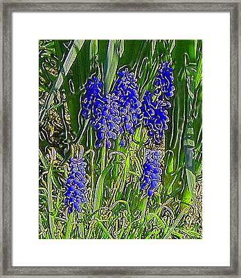 Framed Print featuring the photograph Grape Hyacinths by Holly Martinson