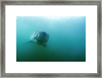 Great White Shark Framed Print by Alexis Rosenfeld
