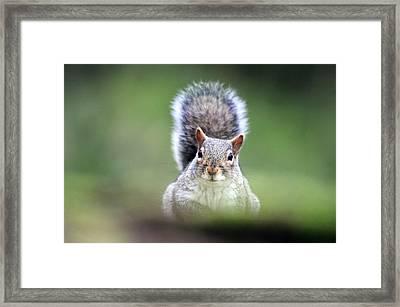 Grey Squirrel Framed Print by Colin Varndell