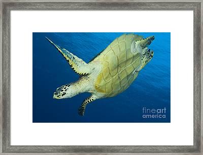 Hawksbill Turtle In The Diving Framed Print by Steve Jones