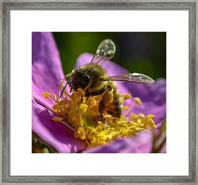 Honey Bee Framed Print by Brian Stevens