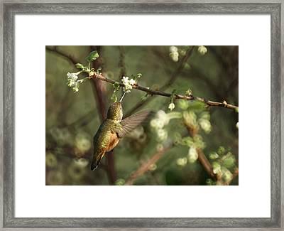 Hummingbird Framed Print by Ernie Echols
