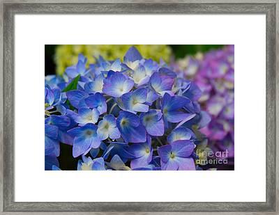 Hydrangea 4 Framed Print by Eva Kaufman