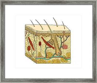 Illustration Of Skin Section Framed Print