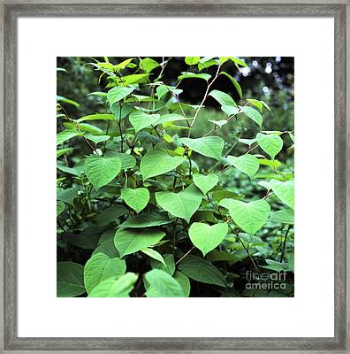 Japanese Knotweed Framed Print by Sheila Terry