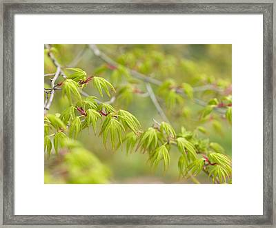 Japanese Maple (acer Palmatum) Framed Print by Adrian Bicker