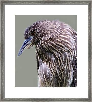 Juvenile Black Crowned Night Heron Framed Print by Paulette Thomas