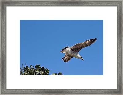 Juvenile Herring Gull Framed Print