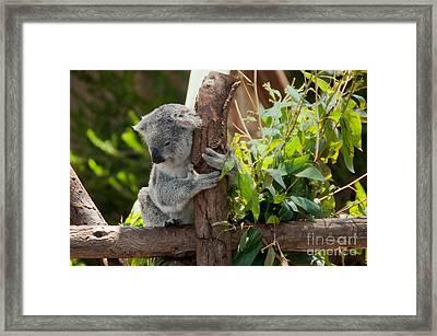 Koala Framed Print by Carol Ailles