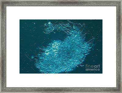 Lactobacillus Sp. Bacteria, Lm Framed Print by M. I. Walker