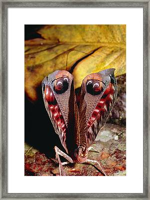 Leaf-mimic Bush Cricket Framed Print by Dr George Beccaloni