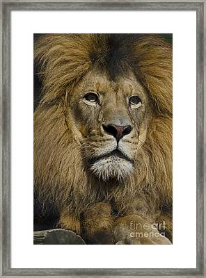 Lion Framed Print by JT Lewis