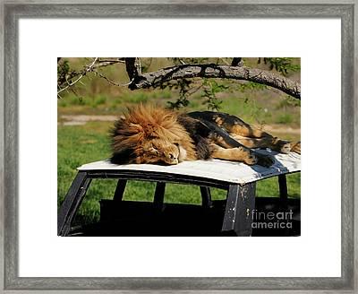 Lion Framed Print by Marc Bittan