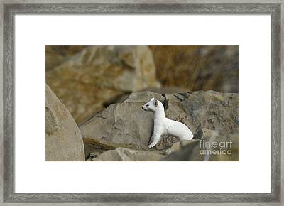 Long Tailed Weasel Framed Print by Dennis Hammer