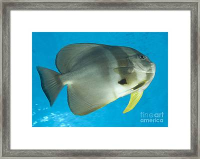 Longfin Spadefish, Papua New Guinea Framed Print
