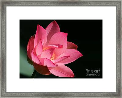 Lotus Diva Framed Print