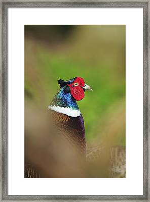 Male Common Pheasant Framed Print by Colin Varndell