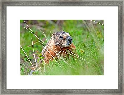 Marmot Framed Print by Elijah Weber