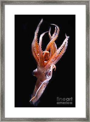Mesopelagic Squid Framed Print by Dante Fenolio
