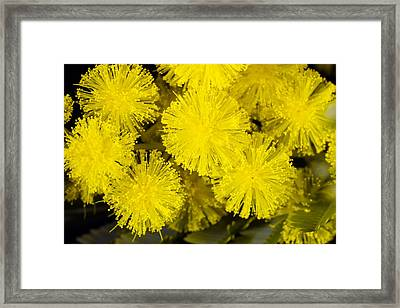 Mimosa (acacia Dealbata Subalpina) Framed Print by Dr Keith Wheeler