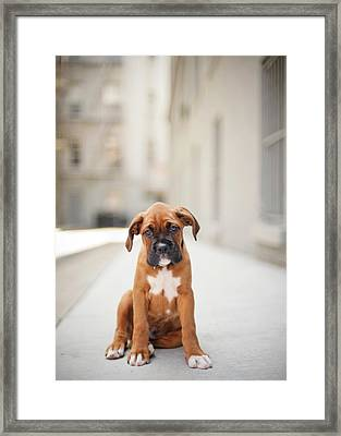 2 Month Old Boxer Puppy Standing In Alley Framed Print