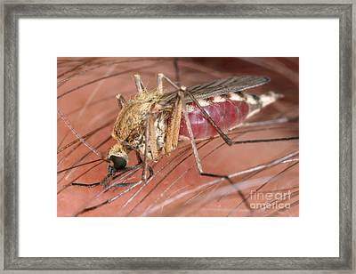 Mosquito Biting A Human Framed Print by Ted Kinsman