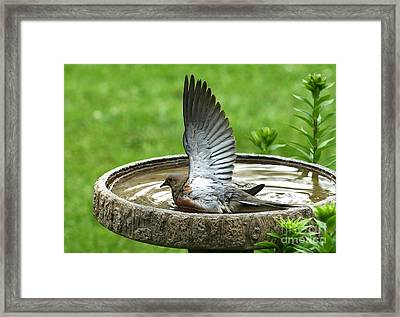 Framed Print featuring the photograph Mourning Dove by Jack R Brock