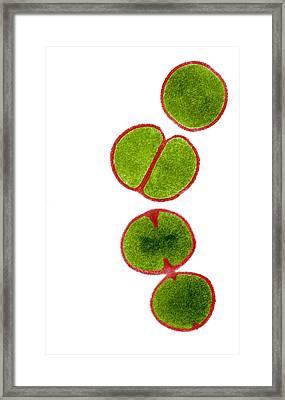 Mrsa Bacteria, Tem Framed Print by Biomedical Imaging Unit, Southampton General Hospital