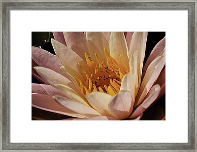 Nymphaea 'sunny Pink' Framed Print
