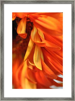 Orange Gerbera Daisy 4 Framed Print by Ronda Broatch