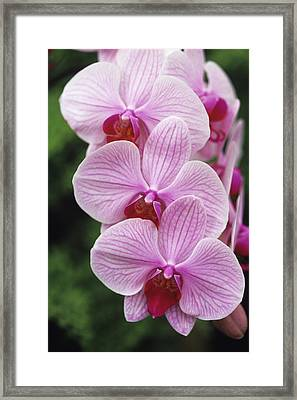 Orchid Flowers Framed Print by Duncan Smith