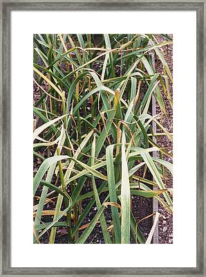 Organic Serpent Garlic Framed Print