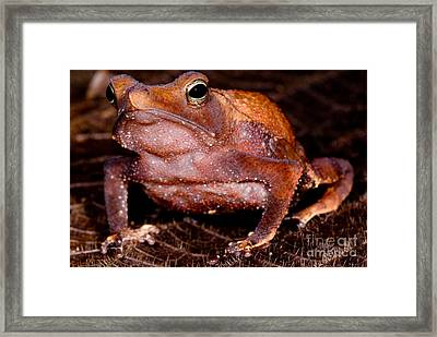 Para Toad Framed Print by Dant� Fenolio