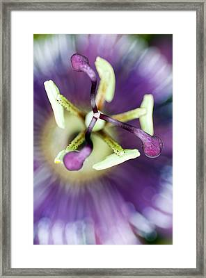 Passion Flower (passiflora Amethystina) Framed Print