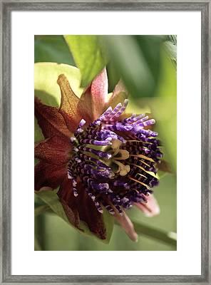 Passion Flower (passiflora Sp.) Framed Print