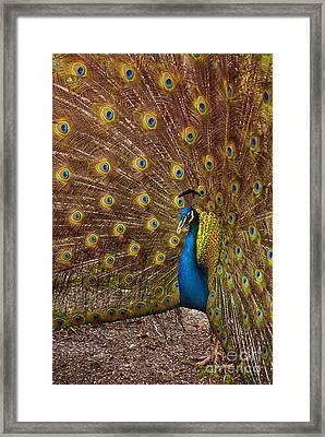 Peacock Framed Print by Carlos Caetano
