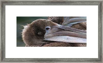 Pelican Framed Print by Paul Marto
