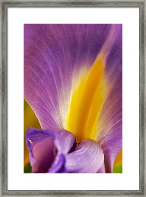Photograph Of A Dutch Iris Framed Print