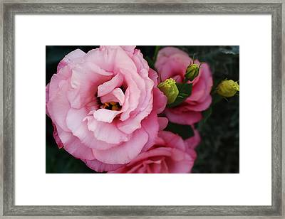 Pink Delight Framed Print by Bruce Bley