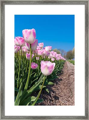 Framed Print featuring the photograph Pink Tulips by Hans Engbers