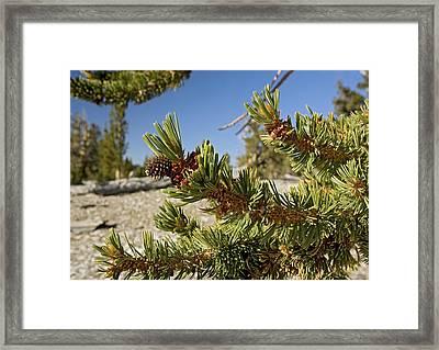 Pinus Longaeva Framed Print by Bob Gibbons