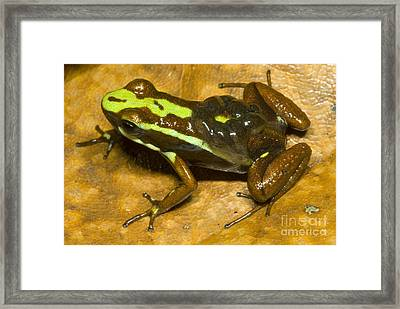 Poison Frog With Eggs Framed Print by Dante Fenolio